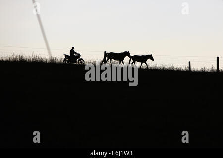 (140825) -- ZHANGYE, Aug. 25, 2014 (Xinhua) -- A herdsman drives a motorcycle as he drives two horse back home at - Stock Photo
