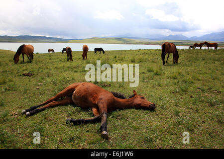 (140825) -- ZHANGYE, Aug. 25, 2014 (Xinhua) -- A horse lies on ground at the Shandan Horse Ranch in Zhangye City, - Stock Photo