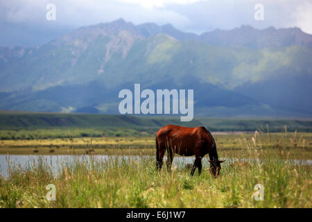 (140825) -- ZHANGYE, Aug. 25, 2014 (Xinhua) -- A horse grazes at the Shandan Horse Ranch in Zhangye City, northwest - Stock Photo