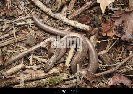 Male slow worm - Stock Photo