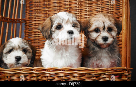 Three bichon havanese puppies inside the basket, age seven week - Stock Photo