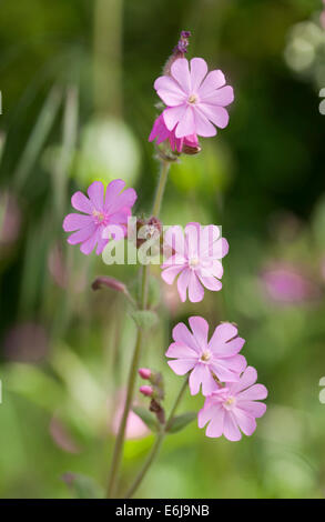 Red Campion wild flower on a roadside verge in North Yorkshire England - Stock Photo