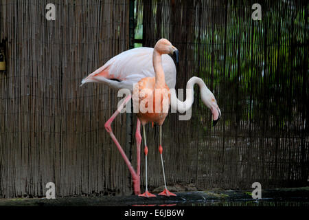 Two flamingos in Adelaide Zoo in Australia - Stock Photo