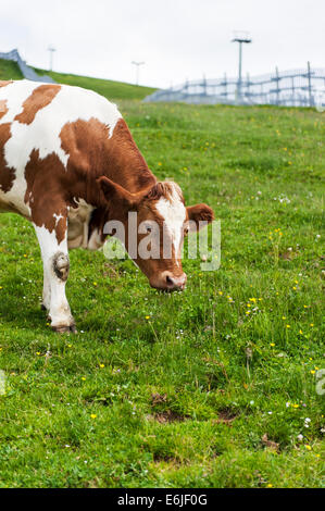 Brown Pinzgau Cow on Kitzbuheler Horn, Kitzbuhel - Stock Photo