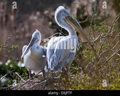 Dalmatian Pelicans (pelecanus crispus) on Nest - Stock Photo