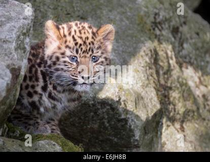 Female Amur leopard cub on rocks