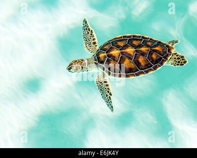 Cute endangered baby turtle swimming in turquoise water - Stock Photo