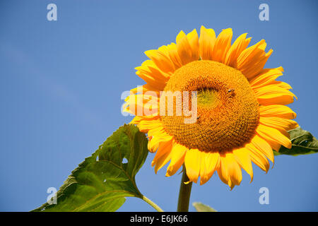 sunflower with two bees and blue sky - Stock Photo