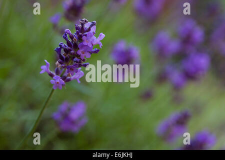 Close-up of a single flowering lavender stem with blurred stems in the background photographed life size using a - Stock Photo