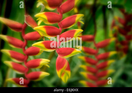 Hanging Lobster Claw (heliconia rostrata). Maui Enchanting Gardens. Maui, Hawaii. - Stock Photo