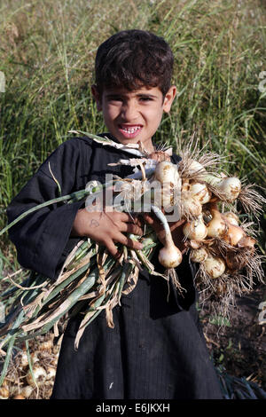 Young boy harvesting onions on a field near Asyut, Upper Egypt - Stock Photo