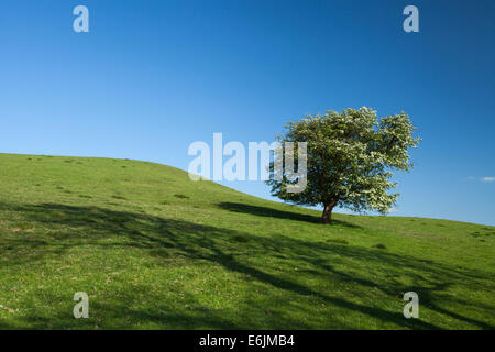 A solitary hawthorn tree full of white spring blossom on the slopes of Honey Hill near Cold Ashby in Northamptonshire, - Stock Photo