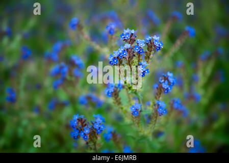 Variety of Forget-Me-Not. Along Imnaha River, Eastern Oregon. Hells Canyon National Recreation Area, Oregon - Stock Photo
