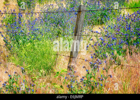 Variety of Forget-Me-Not and barbed wire fence. Along Imnaha River, Eastern Oregon. Hells Canyon National Recreation - Stock Photo