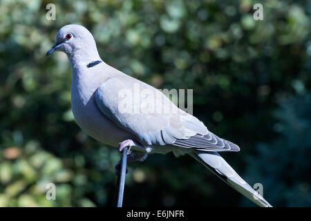 Eurasian collared dove (Streptopelia decaocto) perched on a wire hoop. - Stock Photo