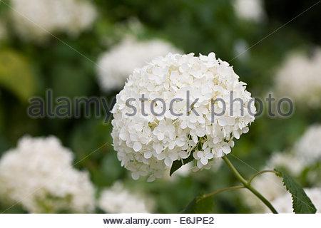 Hydrangea arborescens 'Annabelle' - Stock Photo