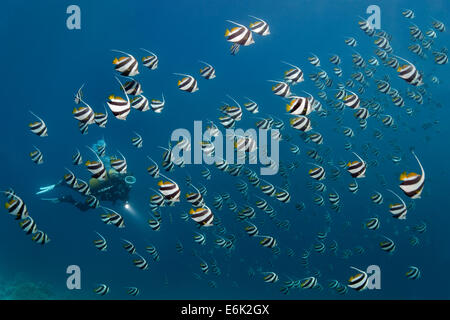 Scuba diver in a school of Schooling Bannerfish (Heniochus diphreutes) over a coral reef, Indian Ocean, Embudu - Stock Photo