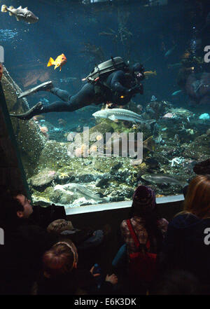 (140826) -- VANCOUVER, Aug. 26, 2014 (Xinhua) -- A diver interacts with kids in Vancouver Aquarium in Vancouver, - Stock Photo