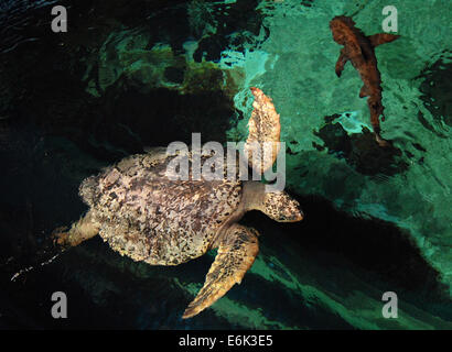 (140826) -- VANCOUVER, Aug. 26, 2014 (Xinhua) -- Turtles and sharks are seen at Vancouver Aquarium in Vancouver, - Stock Photo