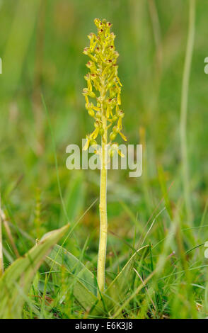 Common Twayblade Orchid - Listera ovata Whole plant in Machair Grassland - Stock Photo