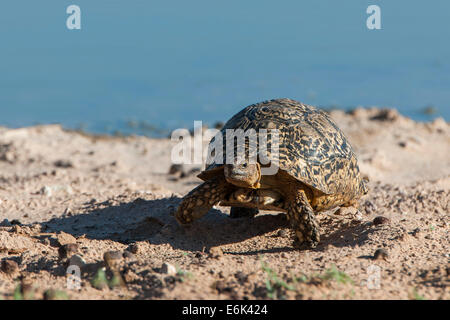 Leopard Tortoise (Geochelone pardalis), Kgalagadi Transfrontier Park, Northern Cape, South Africa - Stock Photo