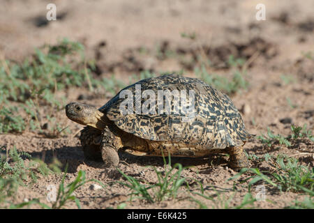 Leopard Tortoise (Geochelone pardalis), Kgalagadi Transfrontier Park, Northern Cape, South Africa - Stock Photo