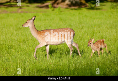 Sika Deer (Cervus nippon), hind with young, captive, Bavaria, Germany - Stock Photo