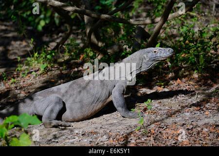 Komodo Dragon (Varanus komodoensis), Rinca Island, Komodo National Park, Indonesia