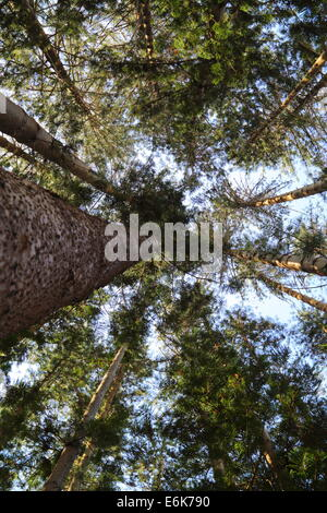 Looking up through the canopy of a stand of conifer trees in Fremantle, Western Australia. - Stock Photo