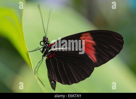Postman Butterfly or Common Postman (Heliconius melpomene), butterfly house, botanical garden, Munich, Upper Bavaria, - Stock Photo