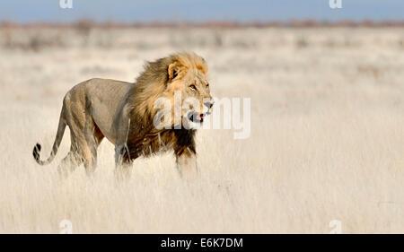 Lion (Panthera leo), adult walking in long grass, Etosha National Park, Namibia - Stock Photo