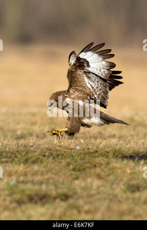 Common Buzzard (Buteo buteo) landing, Mazovia, Poland - Stock Photo
