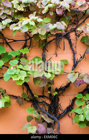 Vitis coignetiae. Crimson glory vine growing against an orange wall at RHS Harlow Carr. - Stock Photo