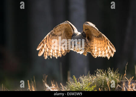 Eurasian Eagle Owl (Bubo bubo) in flight, backlit - Stock Photo