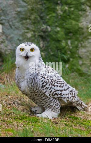 Snowy owl (Bubo scandiacus / Nyctea scandiaca) portrait of female - Stock Photo