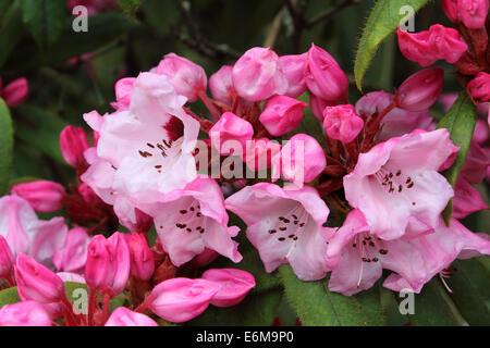 rhododendron glischrum Rude - Stock Photo