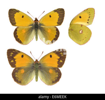 Clouded Yellow - Colias croceus. Male (top) - female (bottom). - Stock Photo