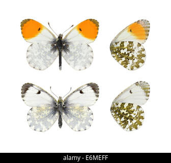 Orange-tip - Anthocharis cardamines. Male (top) - female (bottom). - Stock Photo