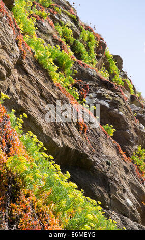The Lizard Peninsula Cornwall england UK Hottentot fig on Polpeor Cove cliff - Stock Photo