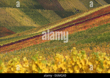 Colorful vineyards and wine racks in autumn with wine grapes - Stock Photo