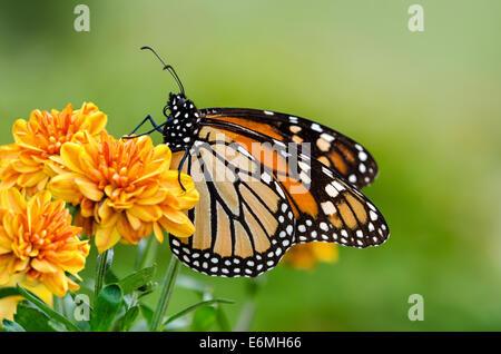 Monarch butterfly (Danaus plexippus) on orange garden flowers during autumn migration - Stock Photo