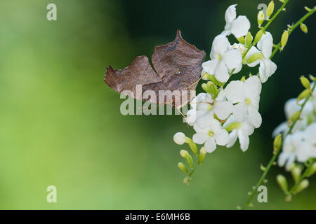 Question Mark butterfly (Polygonia interrogationis) feeding on white flowers - Stock Photo