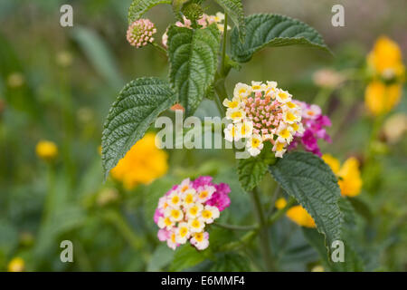 Lantana camara flowers. - Stock Photo