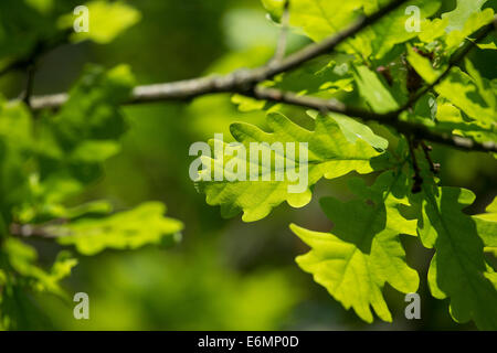 English Oak, oaks, leaf, leaves, Eichenlaub, Eichenblatt, Eichenblätter, Stiel-Eiche, Eichen, Stieleiche, Eiche, - Stock Photo