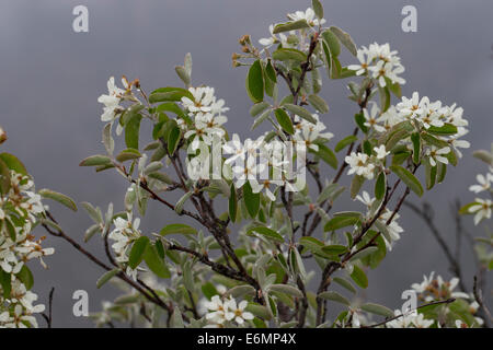 snowy mespilus shadbush shadwood wild pear echte felsenbirne stock photo royalty free image. Black Bedroom Furniture Sets. Home Design Ideas