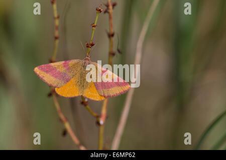 Purple-barred Yellow, Purple barred yellow, Ampfer-Purpurspanner, Purpurbindenspanner, Purpur-Spanner, Lythria cruentaria - Stock Photo