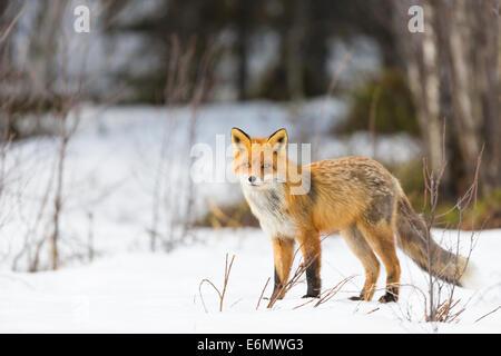 Red fox in winter time in Jokkmokk, Swedish lapland, Sweden - Stock Photo