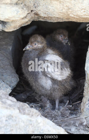 two chicks in the nest Snowy Sheathbill between stones - Stock Photo