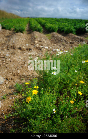 corn marigold chrysanthemum segetum yellow flower Stock Photo