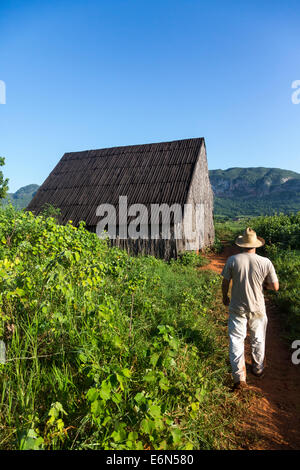 tobacco farmer walking towards barn for drying tobacco leaves, Vinales, Cuba - Stock Photo